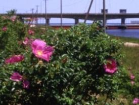 町の花 ハマナス