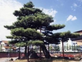 町の木 黒松